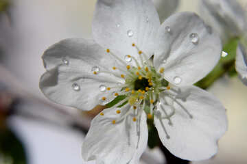 White flower with dew drops №27076