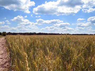 A field of wheat №27223
