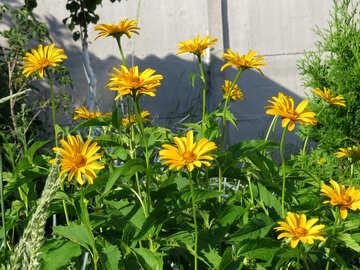 Yellow daisies №27048