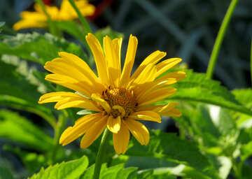 Yellow flower like daisy №27049