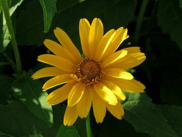 Yellow flower like daisy №27051