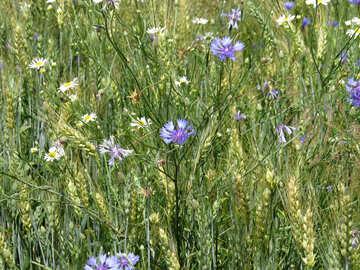 Weed flower №27225