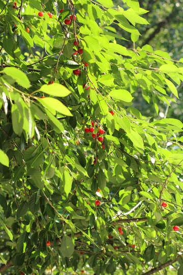 Obstbaum №27146