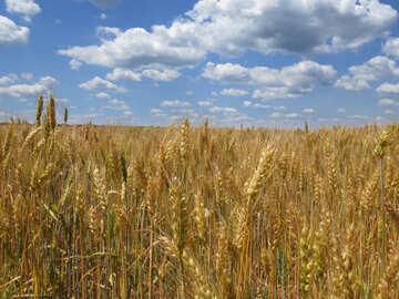 Grain harvest №27247