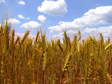Grain ears №27263