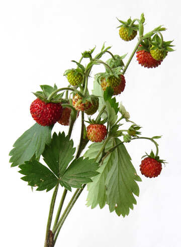 Strawberry №27509