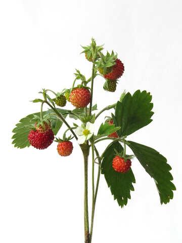 Strawberry bush №27511