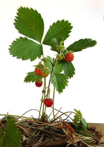 Bush Erdbeer isoliert №27565