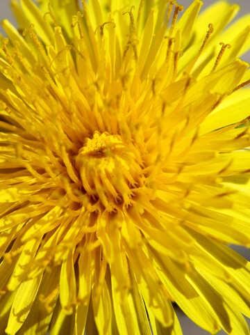 Dandelion macro №27104