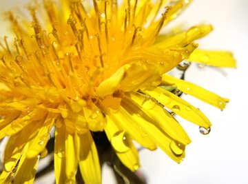 Yellow dandelion macro №27093