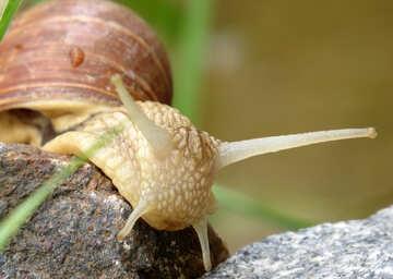 Garden snail №27493
