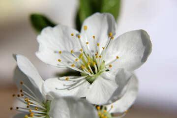 Cherry blossom petals №27081