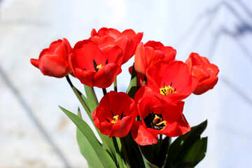 Red tulips №27449