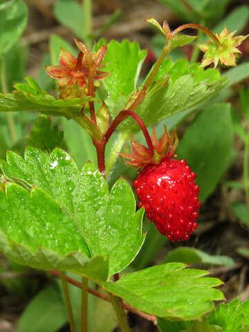 Delicious strawberries №27623