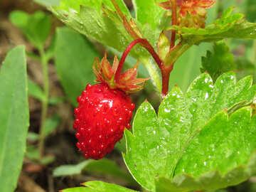 Juicy strawberries №27624