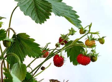 Growing strawberries №27556