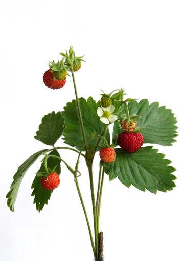Strawberries on white background №27517