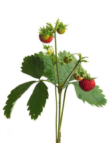 Strawberries on white background №27524
