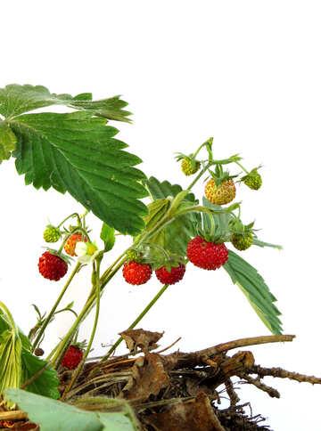 Strawberries on white background №27548