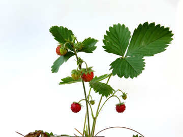Strawberries on white background №27570