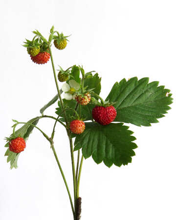 Branch of strawberries on white background №27522