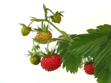 Branch of strawberries on white background №27561