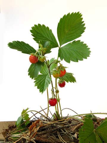 Bush of strawberries on white background №27567