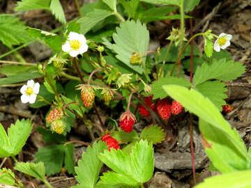 Strawberry №27597
