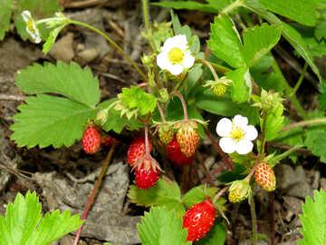 Strawberry bush №27600