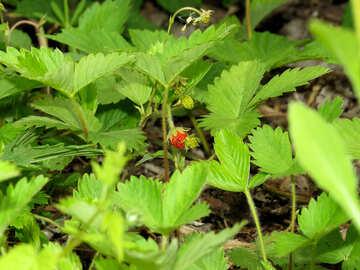 Strawberry leaves №27605