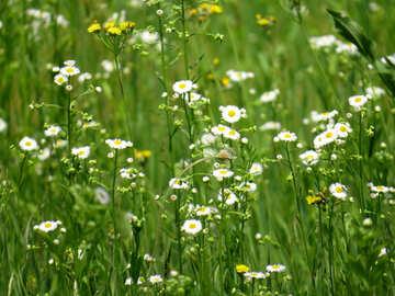 Meadow grass №27023