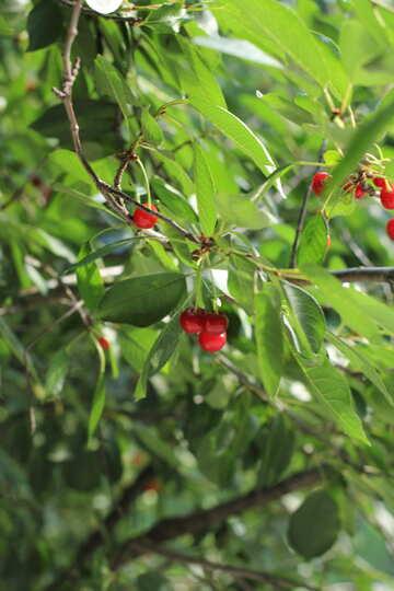 Cherries on tree №27173