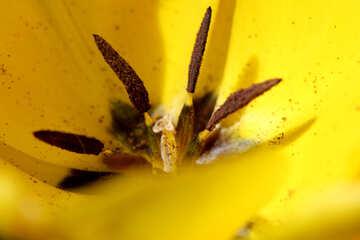 Big tulip flower №27084