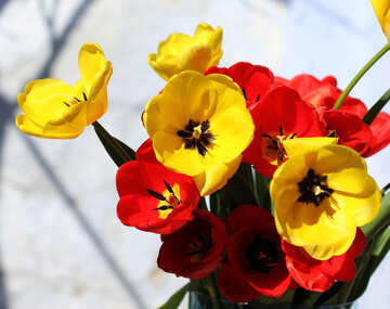 Tulip Blütenblätter №27421