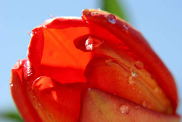 Tulip with dew №27118