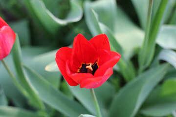 Red tulip №27414