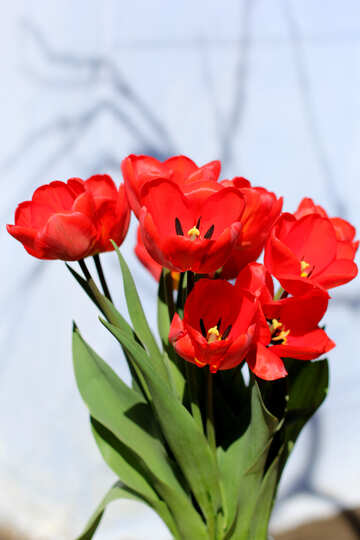 Bouquet of red tulips №27448
