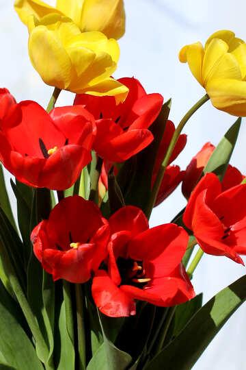 Tulpen №27443