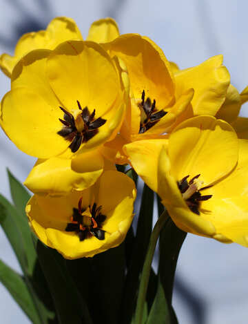 Hintergrund der Postkarten Gelbe Tulpen №27455
