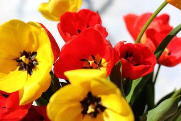 Blumen Tulpen №27420