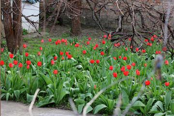Tulips growing №27415