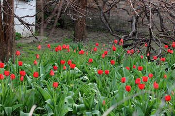 Growing tulips №27416