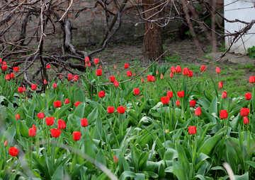 Tulips near the house №27418