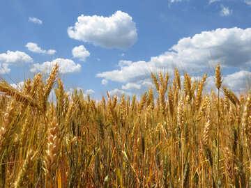 Ukrainian wheat №27257