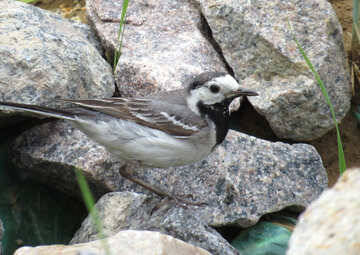 Wagtail on the rocks №27398