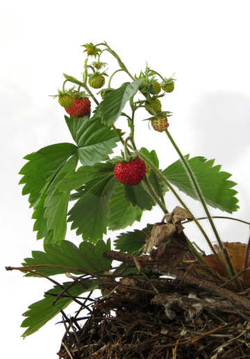 Wild berry on white background №27541