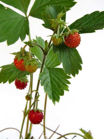 Wild strawberry on white background №27563