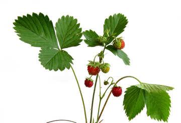Wild strawberry on white background №27577