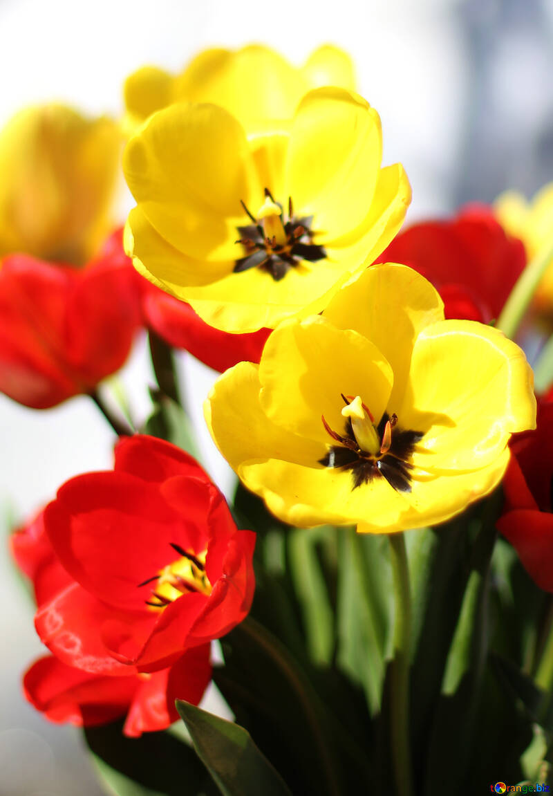 Bouquet of tulips №27429