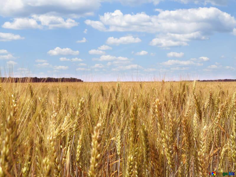 White clouds over bread grain fields №27272